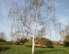Betula pendula. silver birch.  Diamond-shaped, bright green leaves hang from graceful, pendant branches. It is a fast-growing tree with white, peeling bark that becomes marked with black, rugged cracks as it gets older. In spring, yellow-brown male catkins appear and in late autumn the foliage turns yellow before falling. It is one of the most widely used birches, grown for its narrow, conical shape and ability to grow in almost all soils and situations.