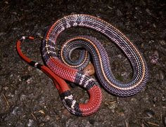 Bungarus flaviceps baluensis by Bjorn Lardner Pretty Snakes, Beautiful Snakes, Dumb Animals, Animals And Pets, Colorful Snakes, Snake Patterns, Reptiles And Amphibians, Dojo, Borneo