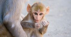 Baby Monkey Terror: Fighting the University of Wisconsin's Maternal Deprivation Tests - Animal Legal Defense Fund