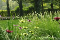 U Oci ... - strona 73 - Forum ogrodnicze - Ogrodowisko Sesleria jesienna