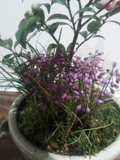 2014.10.14植え替え植物(ミヤマラッキョウ)