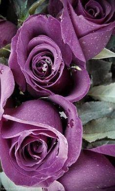 Raindrops on roses by Eva