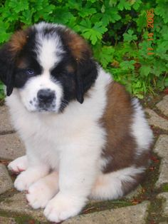 Chubby Puppies, Puppies And Kitties, Baby Puppies, Cute Puppies, Cute Dogs, Doggies, Cute Small Animals, Animals And Pets, Baby Animals