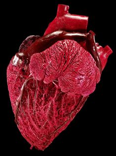 Hefty Heart  Credit:Gunther von Hagens, Institute for Plastination,   Tiny or towering, a mammal's size can affect how long it lives for: a tiny shrew whose heart races at 1,000 beats a minute lives for just a few years, while the slow-beating heart of an elephant can beat for up to 70 years. For instance, a bull's heart is packed with blood to circulate around the large beast; as such, it weighs about 5 pounds (2.25 kg), making it five times heftier than a human heart.