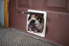 I told you to get a bigger dog door. But no. You thought that I would stay a puppy forever. I don't like being this big either! Are you calling me fat?