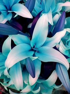 Blue Lilies lilies