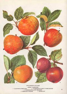 Red Apples Vintage Botanical Print Food Plant Chart by AgedPage, $10.00