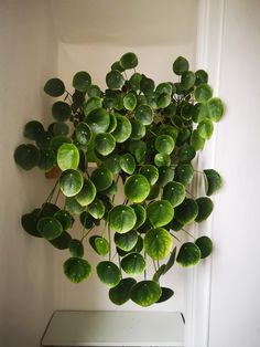My pilea, old. I have never seen one this size. (x-post from r/gardening) : matureplants Indoor Garden, Indoor Plants, Outdoor Gardens, House Plants Decor, Plant Decor, Cool Plants, Green Plants, Plants Are Friends, Green Life