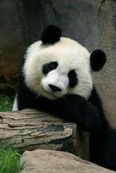 Foto of panda Zoo Animals, Animals And Pets, Funny Animals, Cute Animals, Panda Bebe, Cute Panda, Beautiful Creatures, Animals Beautiful, Baby Panda Bears