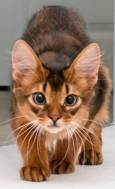 what a look - Singapura Cat - ideas of Singapura Cat - what a look The post what a look appeared first on Cat Gig. Cute Cats And Kittens, Baby Cats, Cool Cats, Kittens Cutest, Images Of Kittens, Pretty Cats, Beautiful Cats, Animals Beautiful, Beautiful Pictures