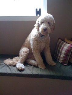 My Goldendoodle - Murphy