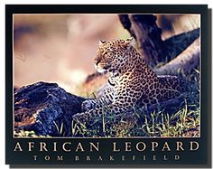 Jungle and safari posters will bring all the wonder and beauty of the wild African plains and exotic rainforests into your home. This African animal art will look fantastic hanged in your living room, bedroom or lobby area. Jungle and safari themed wall posters range from realistic and breathtaking illustrations with incredible details to simplistic silhouettes of the wild animals. The leopard is an efficient hunter.