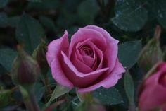 """""""Wistful"""" - Miniature Roses"""