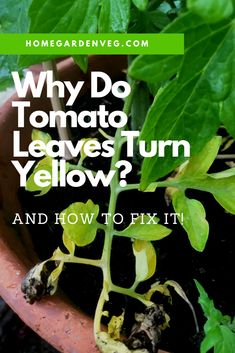 Yellowing leaves on tomato plants could mean many different things. Learn what causes leaves to turn yellow and fix it before it becomes a bigger problem. Click for more. Growing Tomatoes, Growing Herbs, Growing Vegetables, Tomato Seedlings, Tomato Plants, Organic Gardening, Gardening Tips, Yellow Leaves, Types Of Soil
