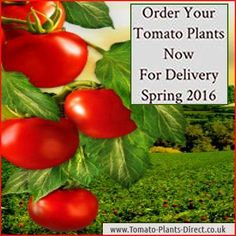 Tomato Plants Direct's photo.