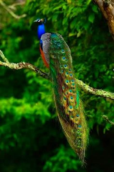 India-Blue Peacock - Pavo cristatus