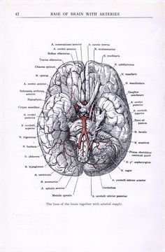 The base of the brain together with arterial supply We produce all of our on images in shop, and we are happy to offer custom work to our customers. Please inquire for pricing and options. Brain Anatomy, Human Body Anatomy, Medical Anatomy, Anatomy And Physiology, Medical Drawings, Medical Art, Brain Poster, Medical Wallpaper, Nursing School Notes