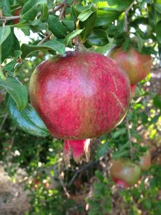 Pomegranate tree in Israel...This extra large pomegranate is the most famous of all. The Wonderful has blushed red skin with juicy rich red flesh. The sharp-tart exquisite flavor is highly prized the world over. These pomegranate trees grow to 18-feet tall and the Wonderful fruits ripen in September. Grocery stores demand over $2.00 per fruit, so to plant your own trees to produce hundreds of valuable fruits each year would be a wise investment.