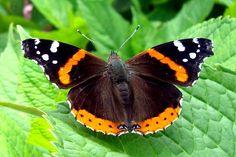 orange + black butterfly