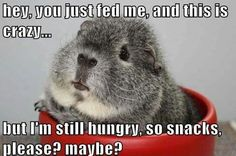 Cute guinea pig photo caption