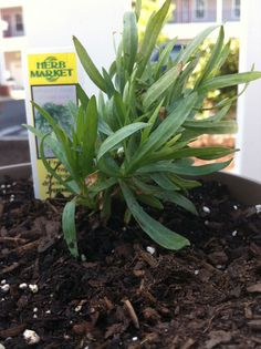 A good article about how Tarragon is often mid-labled and how to properly identify it when shopping at a nursery. Tarragon Plant, American Freedom, Herb Gardening, Ornamental Plants, Growing Herbs, Green Garden, Plant Design, Garden Supplies, Topiary
