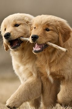 these adorable fluffy golden retriever puppies playing with a stick are way too cute! #cute
