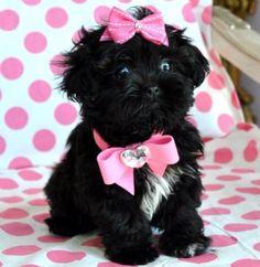 Tiny Peekapoo Puppy Adorable black Princess Amazing Lush Coat! 21 oz at 8 weeks! She is Breath Taking!!!❤❤❤