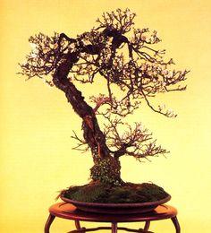 Wild Cherry Bonsai (Prunus)