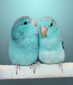 A pair of Budgies.  That's what these are called in England. In the U.S. I believe they are called Parakeets.