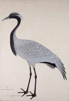 Demoiselle Crane by Bhawani Das, gouache on paper, 1780
