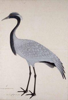 Demoiselle Crane by Bhawani Das, gouache on paper, 1780