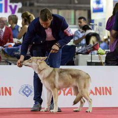 Finite Incantatem di Fossombrone al World Dog Show di Milano 2015 - Proprietà: Luigi Maspero  #WeAreFossombrone