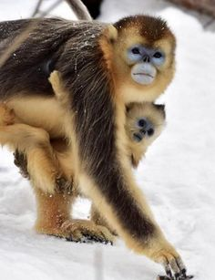 Baby Golden Snub-Nosed Monkey Marvels At Falling Snow (PHOTO ...