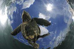 Aber Hunderttausende kommen doch durch! Jetzt paddeln. Zwei Tage schwimmt eine Schildkröte ununterbrochen weg von der Küste in die offene See. Dort verliert sich ihre Spur. Wo die Jungtiere leben, wovon sie sich ernähren, wenn ihr Dottersack verzehrt ist - noch immer weiß es niemand (Foto von: Solvin Zankl)