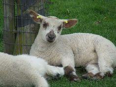 Lamb | CC licensed