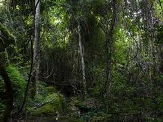 Las lianas abundan en todos los bosques de la región intertropical. Al beneficiarse de la luz, se multiplican mucho en las bosques secundarios o masas que ...