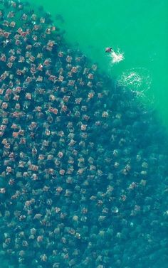 This is called Flight of the Rays by Florian Schulz (Germany). This aerial view of a congregation of Munk's devil rays was taken over the Sea of Cortez, Baja California, Mexico in 2010. He won Environmental Photographer of the Year.