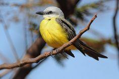 White-throated Kingbird (Tyrannus albogularis) by jquental, via Flickr