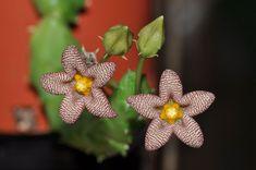 Piaranthus punctatus