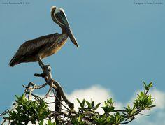 Pelican resting.