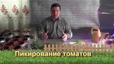 Пикирование томатов - сезон 2015