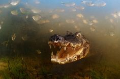 Into the mouth of the caiman, by Luciano Candisani