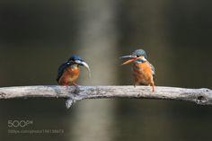 http://ift.tt/2jr6Zkd #Nature_breathtaking #Photos カワセミ Kingfisher  by granheime1188g