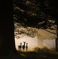 Deer in the mist........