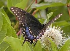 Black swallowtail butterfly  Google Image Result for http://www.statesymbolsusa.org/IMAGES/Oklahoma/swallowtail_black-380.jpg