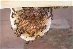 Worker Bees on a piece of honeycomb