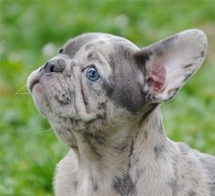 13 Best Merle French Bulldog Puppies Images French Bulldog Puppies French Bulldog Pups Merle