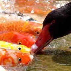 Cigni neri imboccano i pesci rossi in un laghetto a Taiwan. La cassetta con il mangime è per loro, che preferiscono spartirlo con i coinquilini dello specchio d'acqua. Un bellissimo esempio di generosità e dedizione tra specie molto diverse.