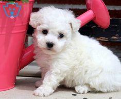 Daisy | Bichon Frise Puppy For Sale | Keystone Puppies Bichon Puppies For Sale, Water For Elephants, Design Development, Dog Love, Adoption, Daisy, Pets, Sadie, Animals