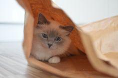 Mazzy (SE*Pinkalicious Mazarin) SBI a  Born 2013-11-20